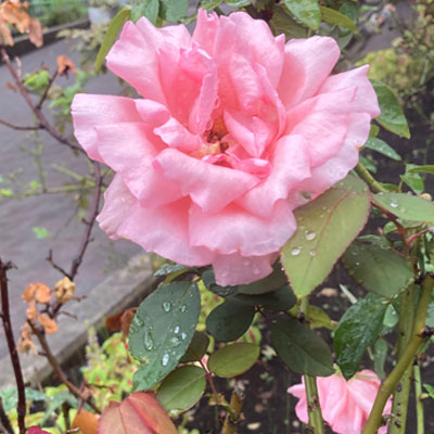 【銀座店】雨の日のバラ
