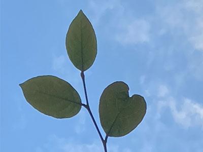 【銀座店】三枚の葉っぱの夢占い