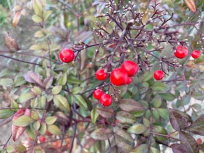 【銀座店】冬の小さな赤い実